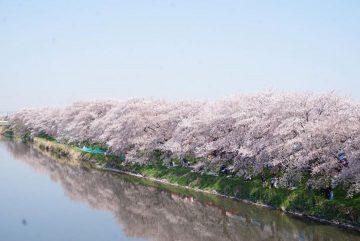 各地で桜祭り!